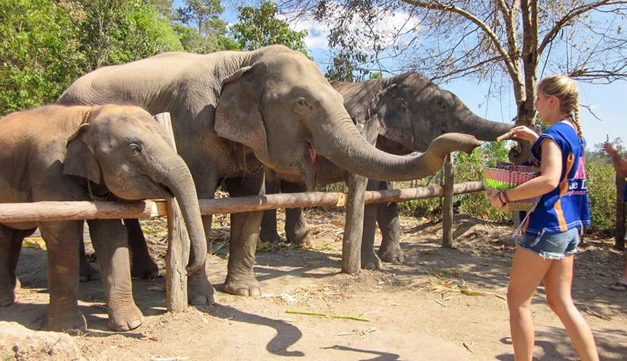 Blue daily elephant care sanctuary chiang mai northern thailand blue daily elephant care chiang mai no riding thailand sciox Images